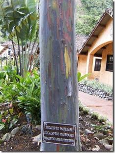 eucalipto arcoiris_14