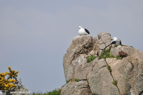 Bréhat_ninhos de gaivotas marrons